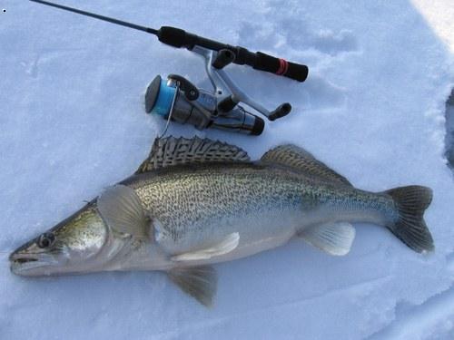 фото берш рыба