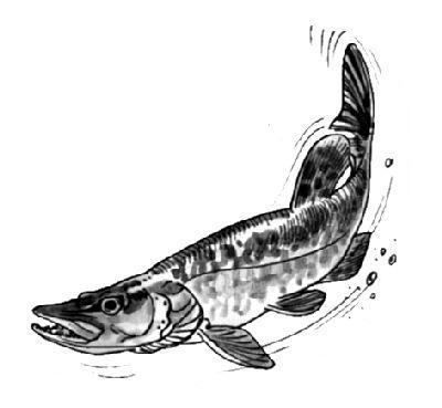 Kreslene Obrazky Kapru A Jinych Ryb