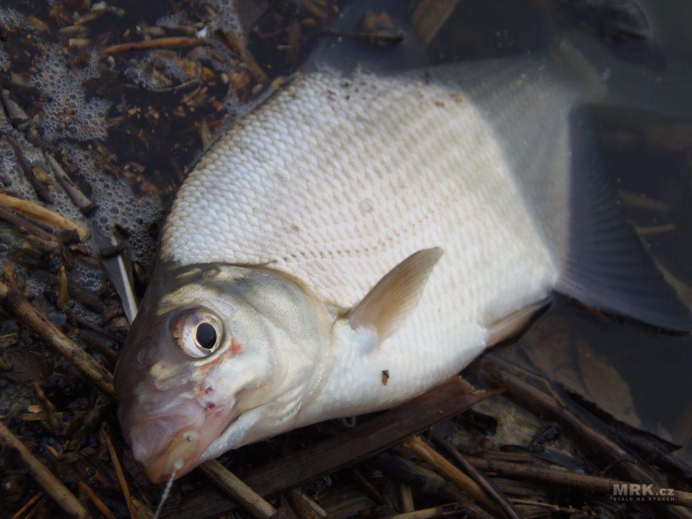 9a69cb295ea7 Biologie ryb - Statoakustické ústrojí